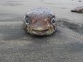 Blowfish at Santa Marianita beach